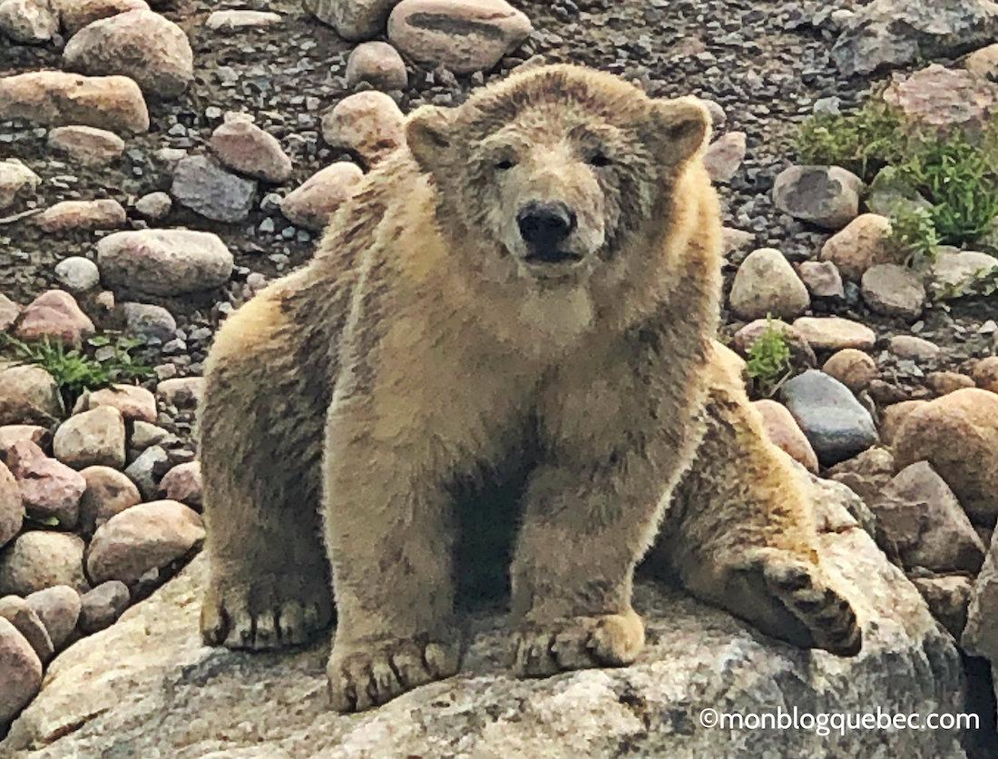 Voyage au Saguenay Lac Saint-Jean Bébé ours polaire