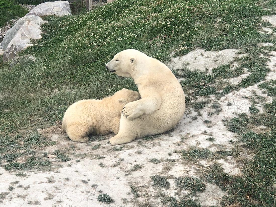 Voyage au Saguenay Lac Saint-Jean Zoo et bébé ours polaire